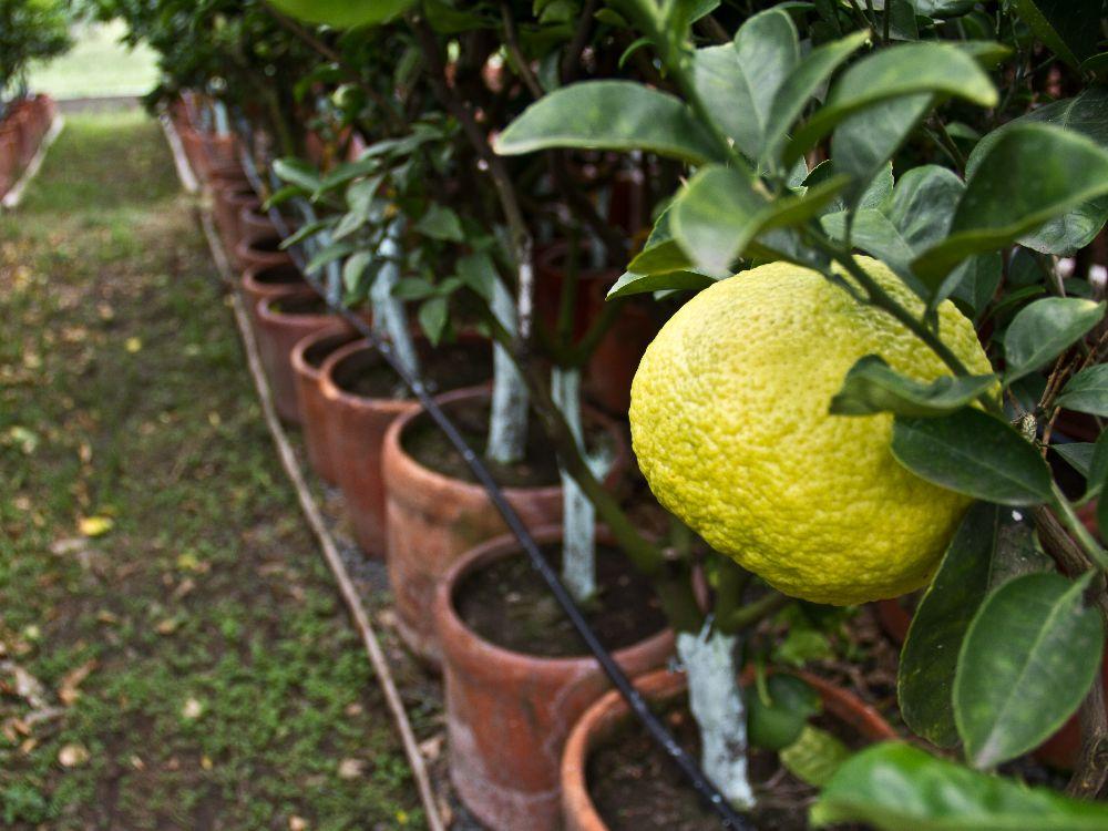 AGROSAVIA producirá controlador biológico para afrontar el HLB, la enfermedad que está acabando con los cultivos de cítricos en Colombia