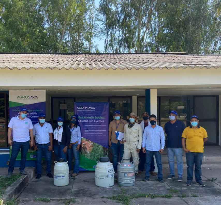 AGROSAVIA entrega material seminal de ganado bovino criollo costeño con cuernos a ganaderos del Caribe seco