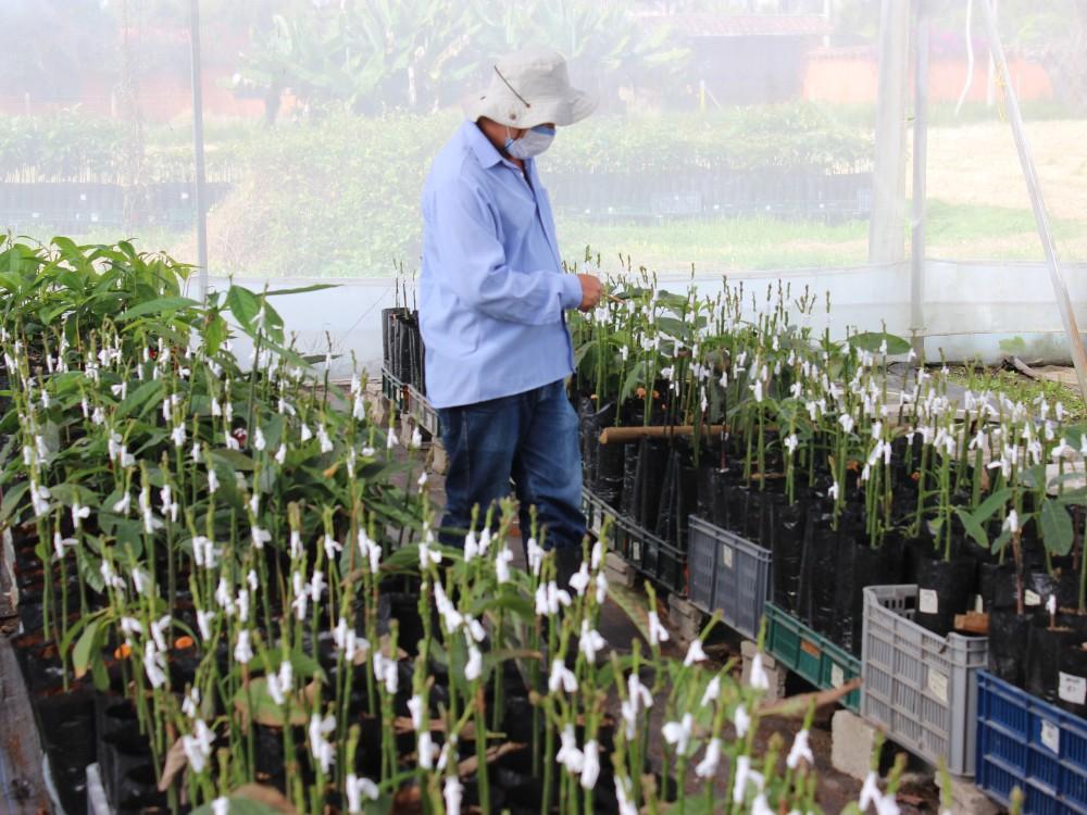 Estudios evidencian que el portainjerto de aguacate es determinante en la producción y calidad de los frutos