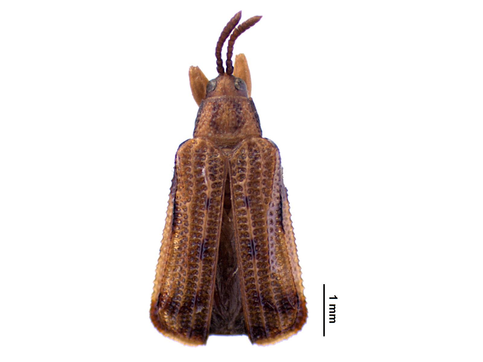 Baliosus ruber(Weber, 1801)
