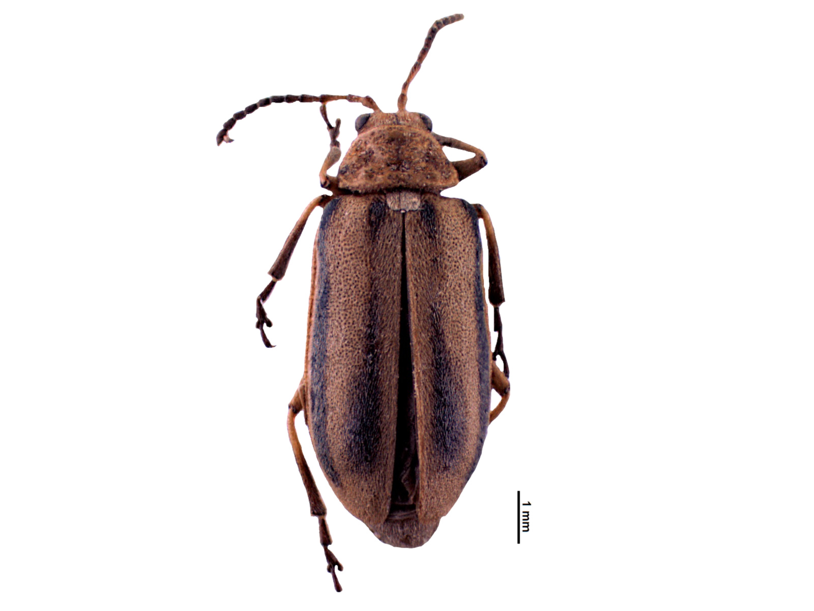 Erynephala puncticollis(Say, 1824)