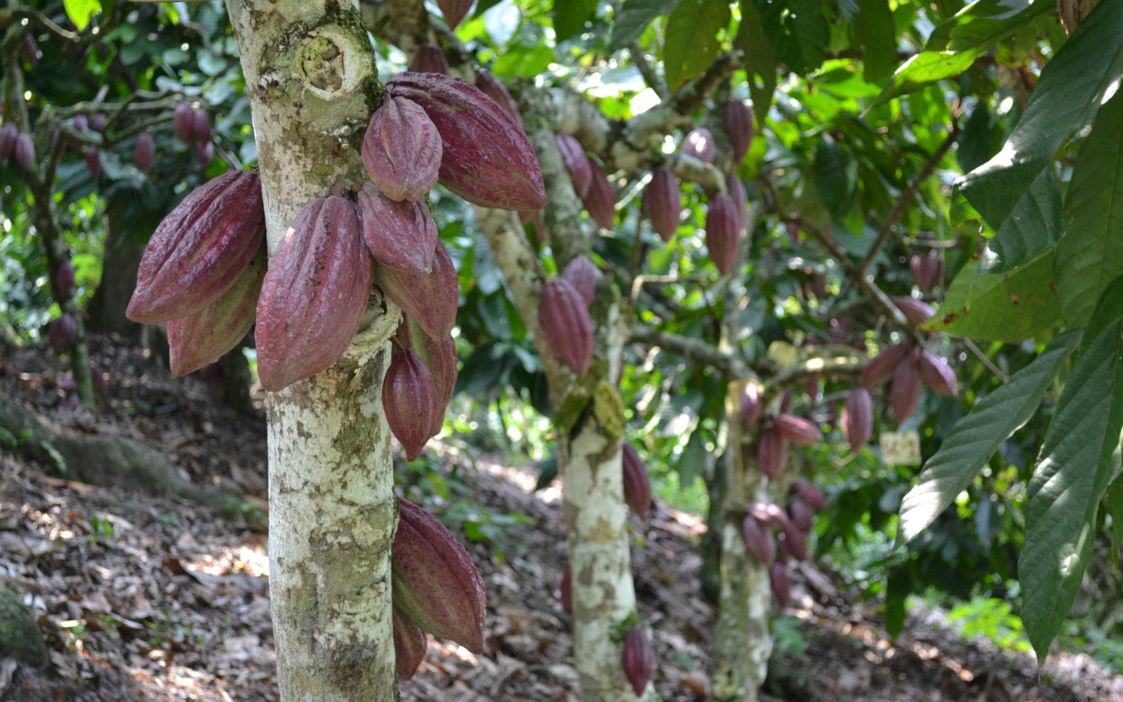 AGROSAVIA y CATIE trabajan en conjunto por el sector cacaotero en Colombia