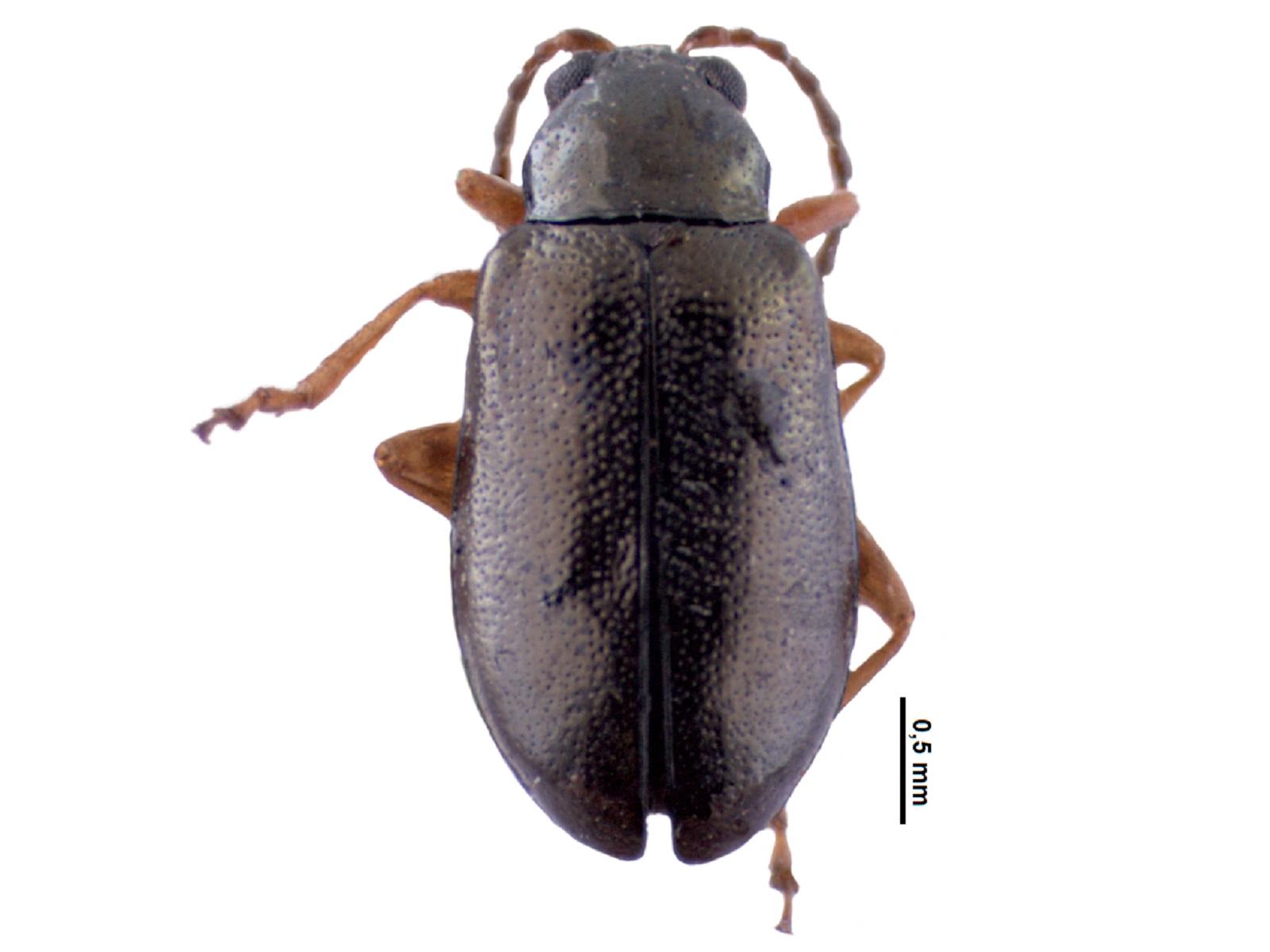 Lysathia integricollis (Harold, 1876)