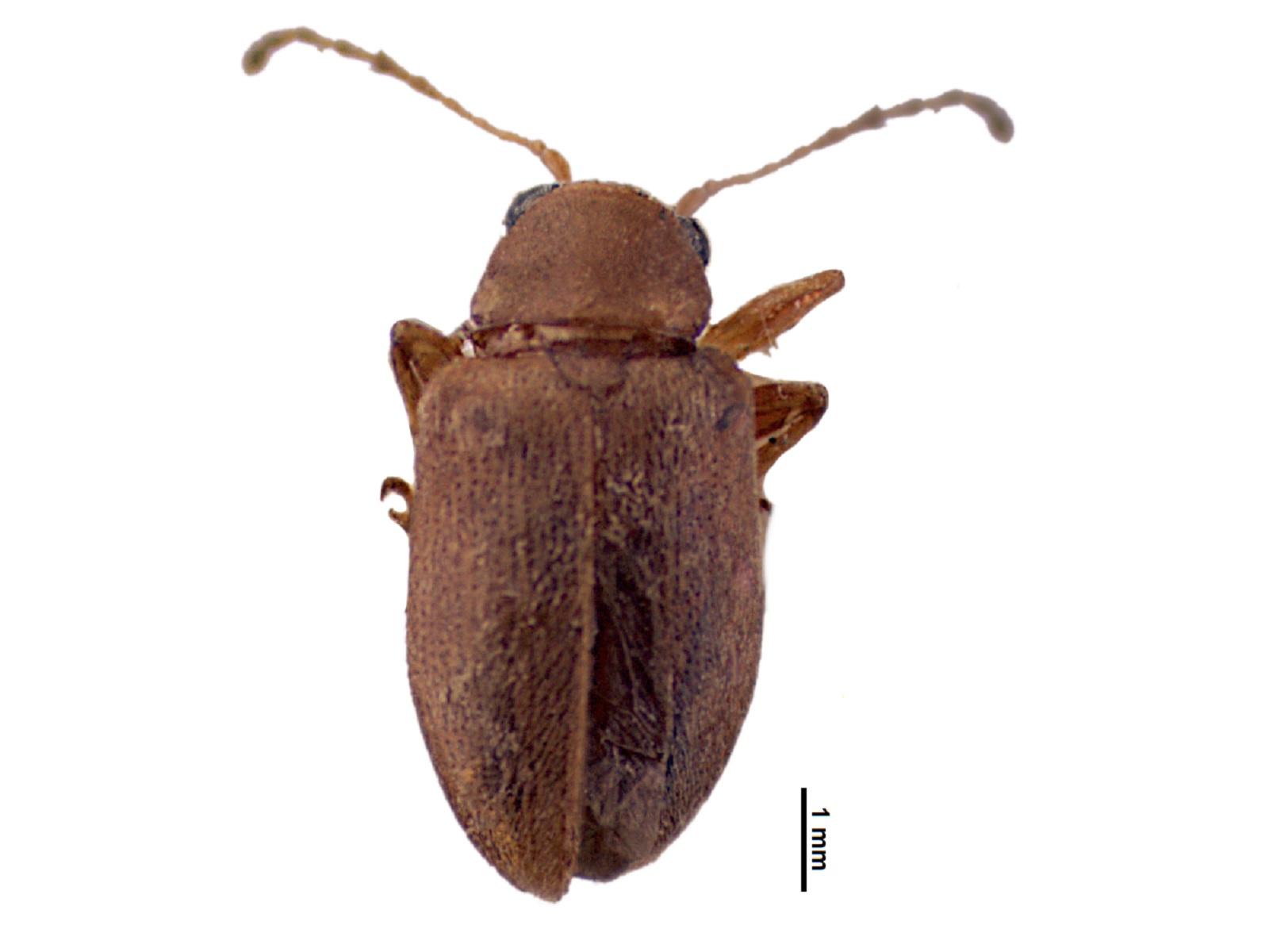 Habrophora sp.