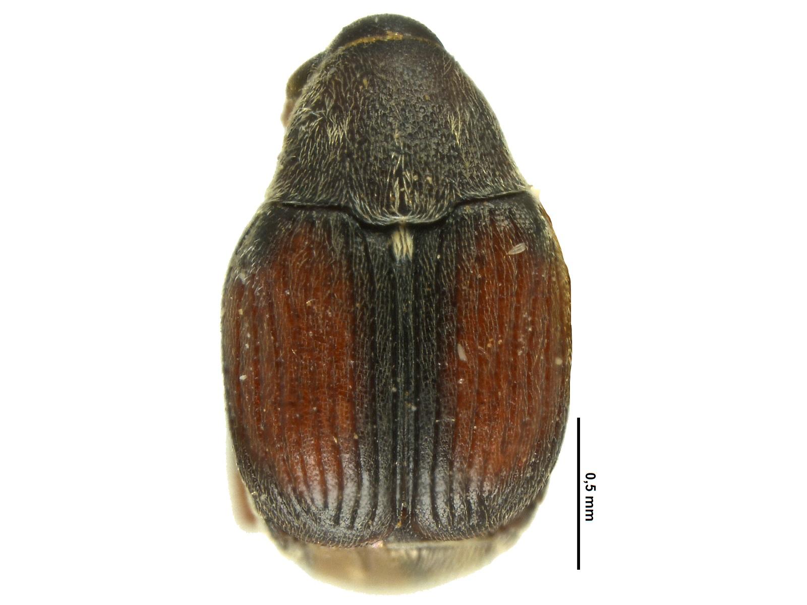 Acanthoscelides colombia Johnson, 1990
