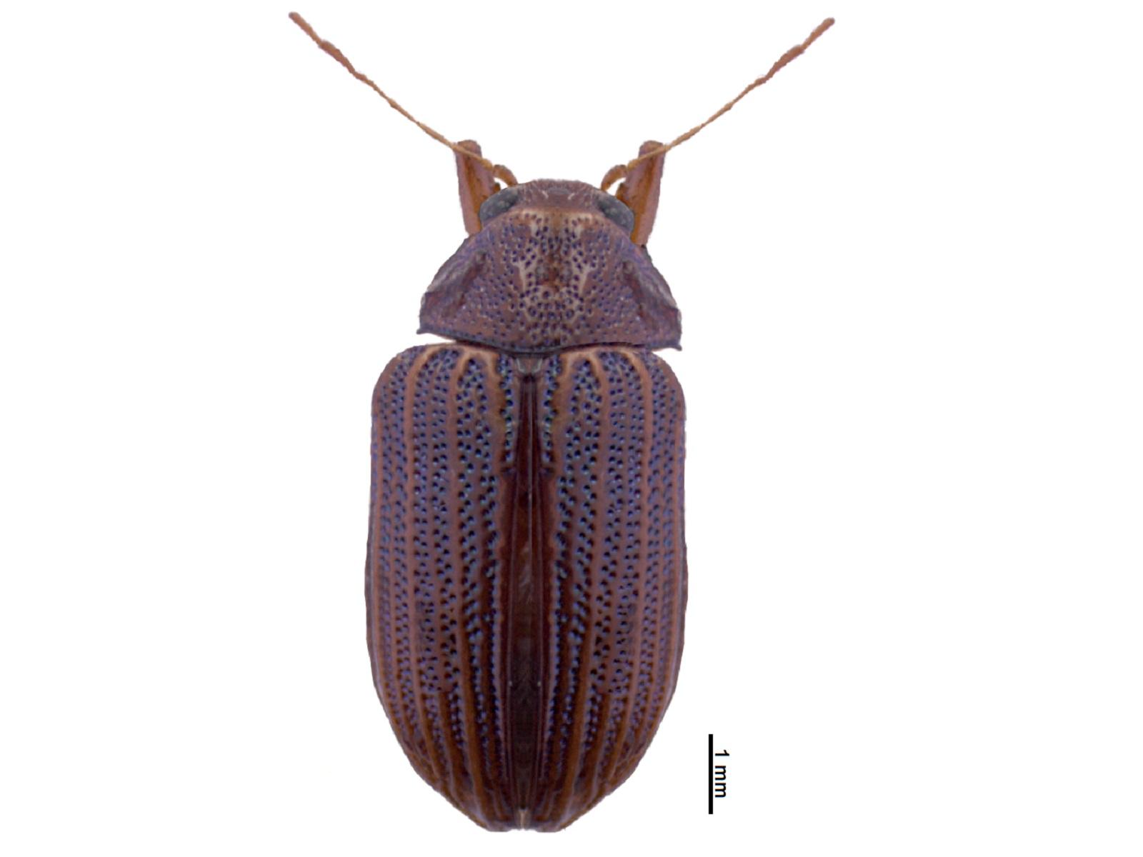 Maecolaspis sp.