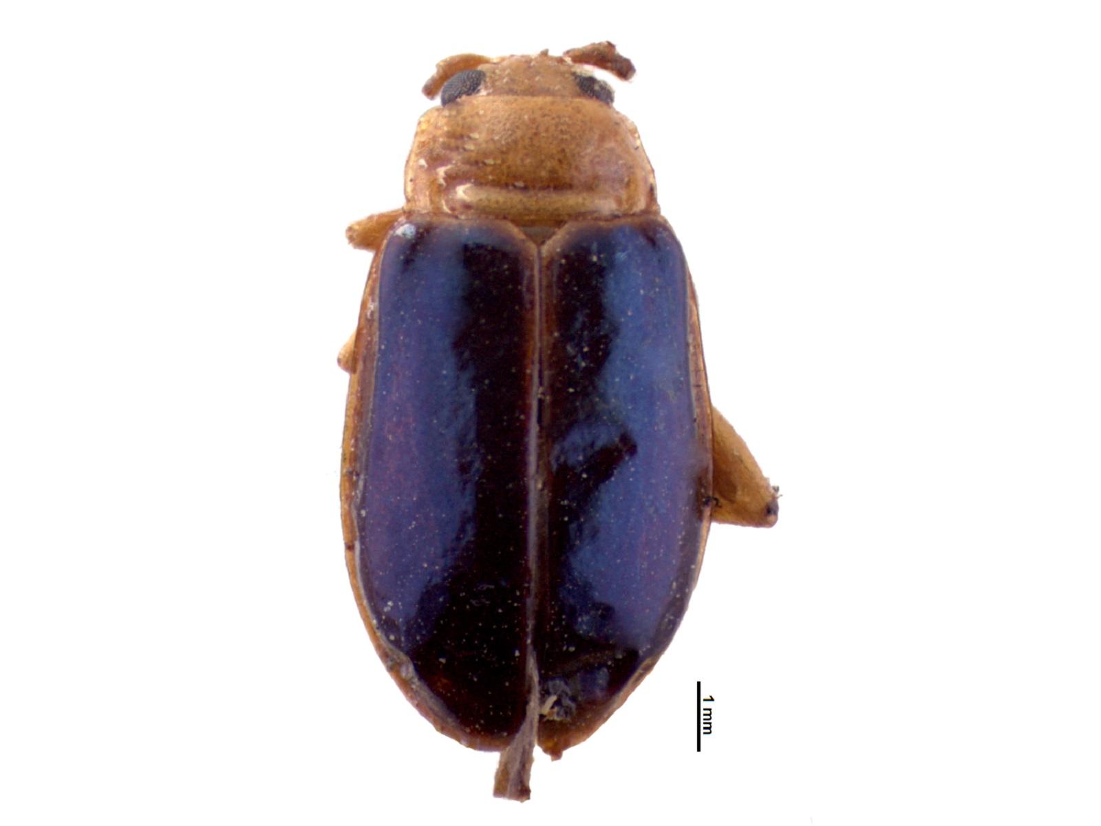 Neodiphaulaca elegans (Harold, 1875)