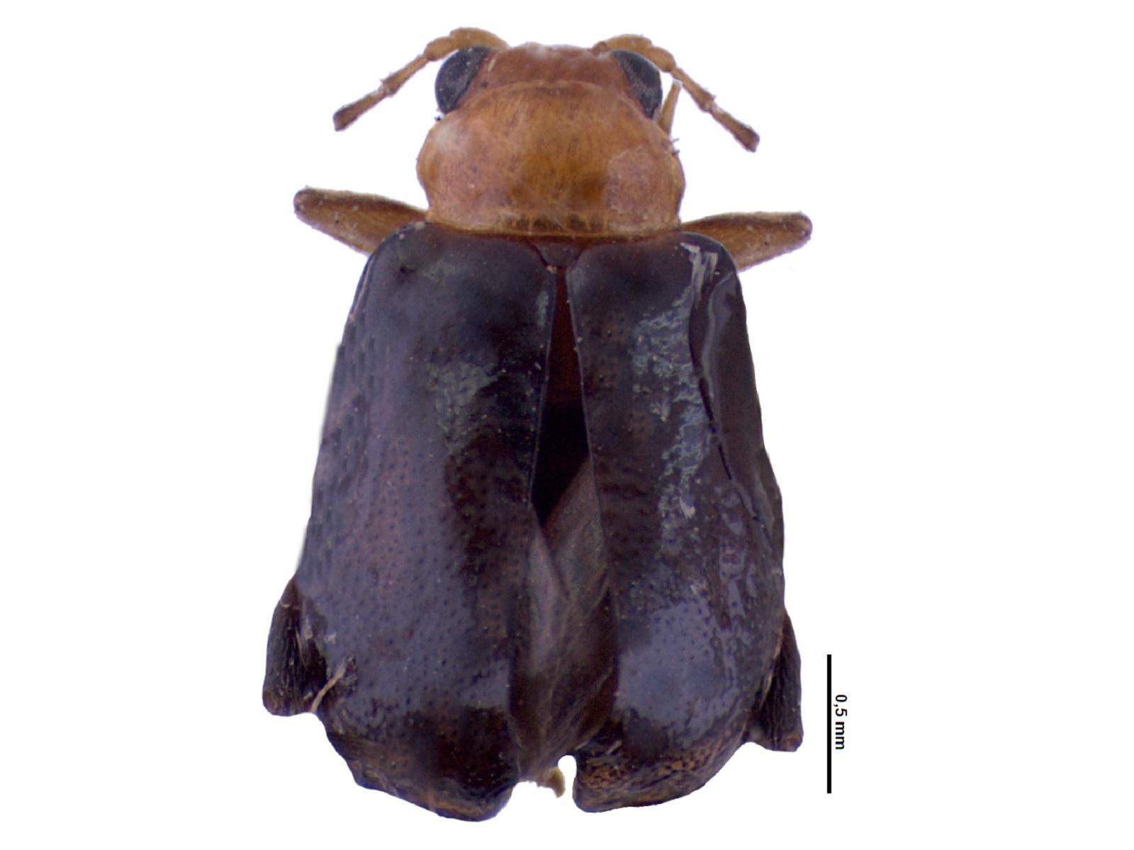 Propiasus spp.