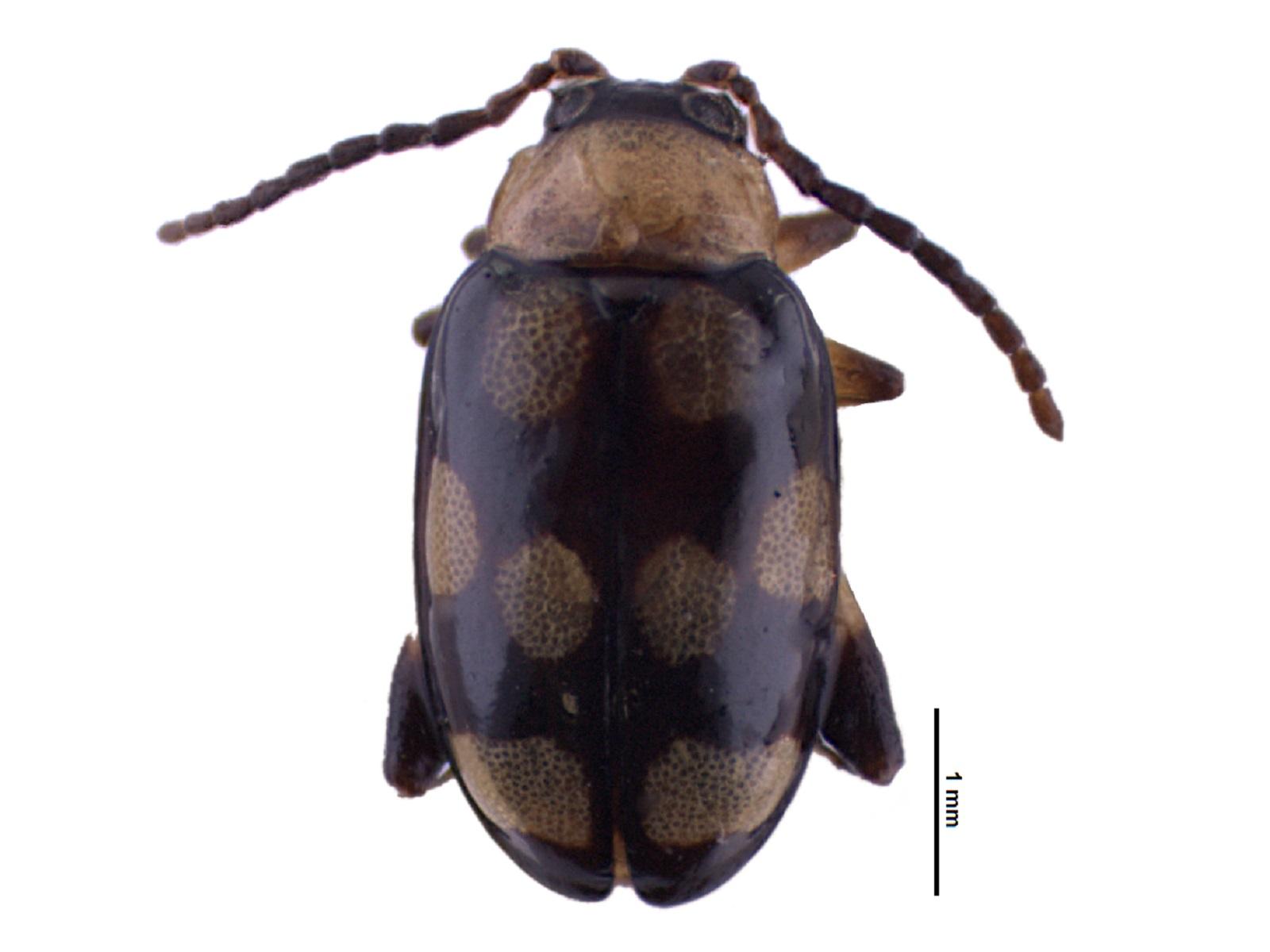 Phenrica austriaca(Schaufuss, 1874)