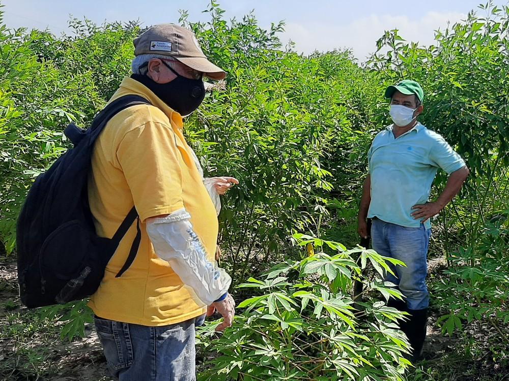 Atlántico y Magdalena producirán semilla de calidad de fríjol guandul a través del Plan Nacional Semilla de AGROSAVIA