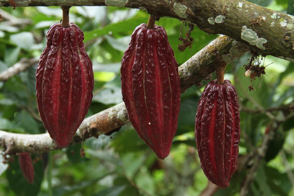 AGROSAVIA y el Ministerio de Ambiente de Portugal firman protocolo para la sostenibilidad del cultivo de cacao en Colombia