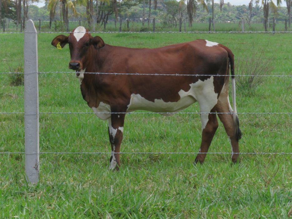 AGROSAVIA le aporta a la paz y a la productividad de la ganadería del país