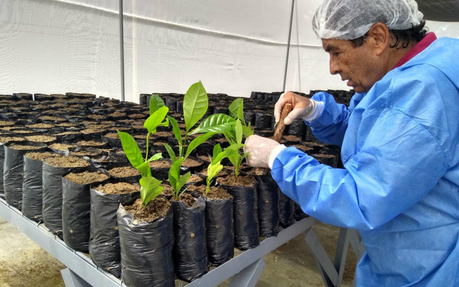 AGROSAVIA lidera la evaluación para el ingreso de una nueva especie de café al país