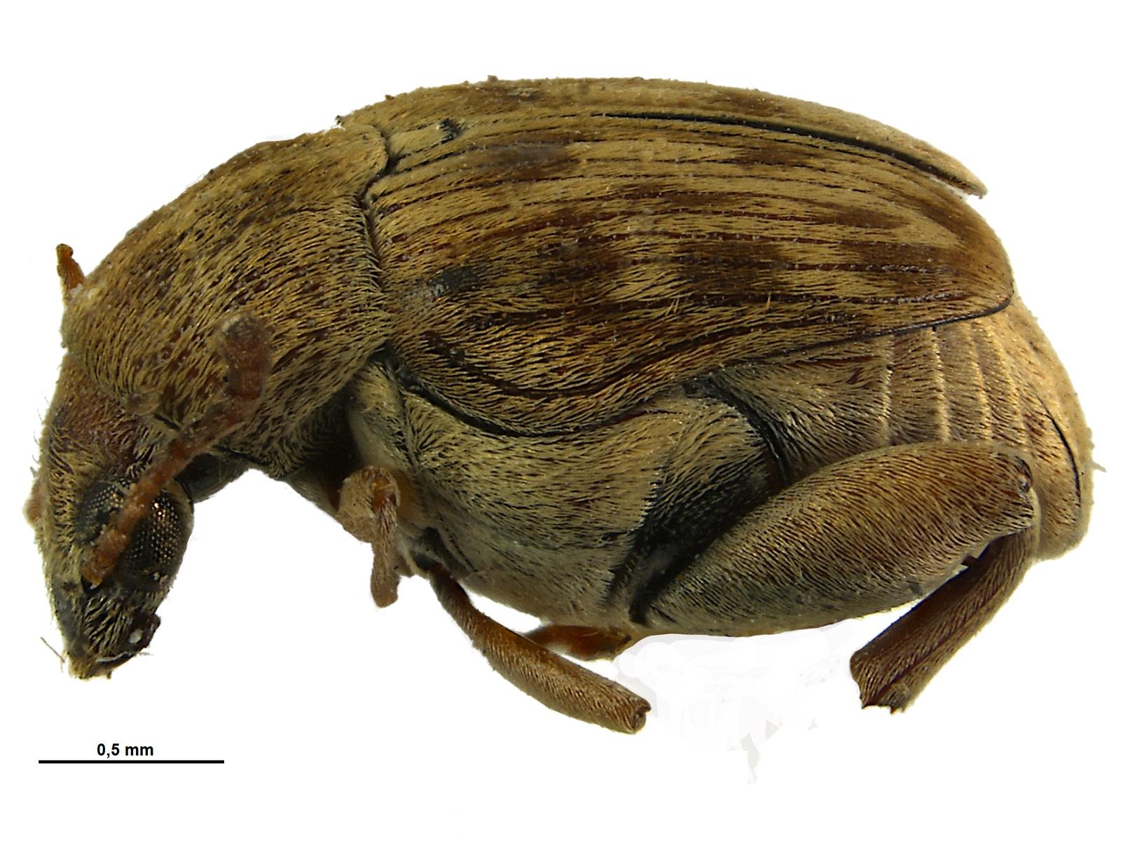Acanthoscelides ingeborgae Johnson, 1990