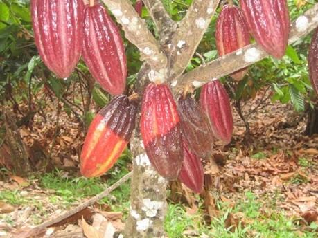 Opciones tecnológicas para el manejo de Phytophthora en cacao en el norte del Tolima