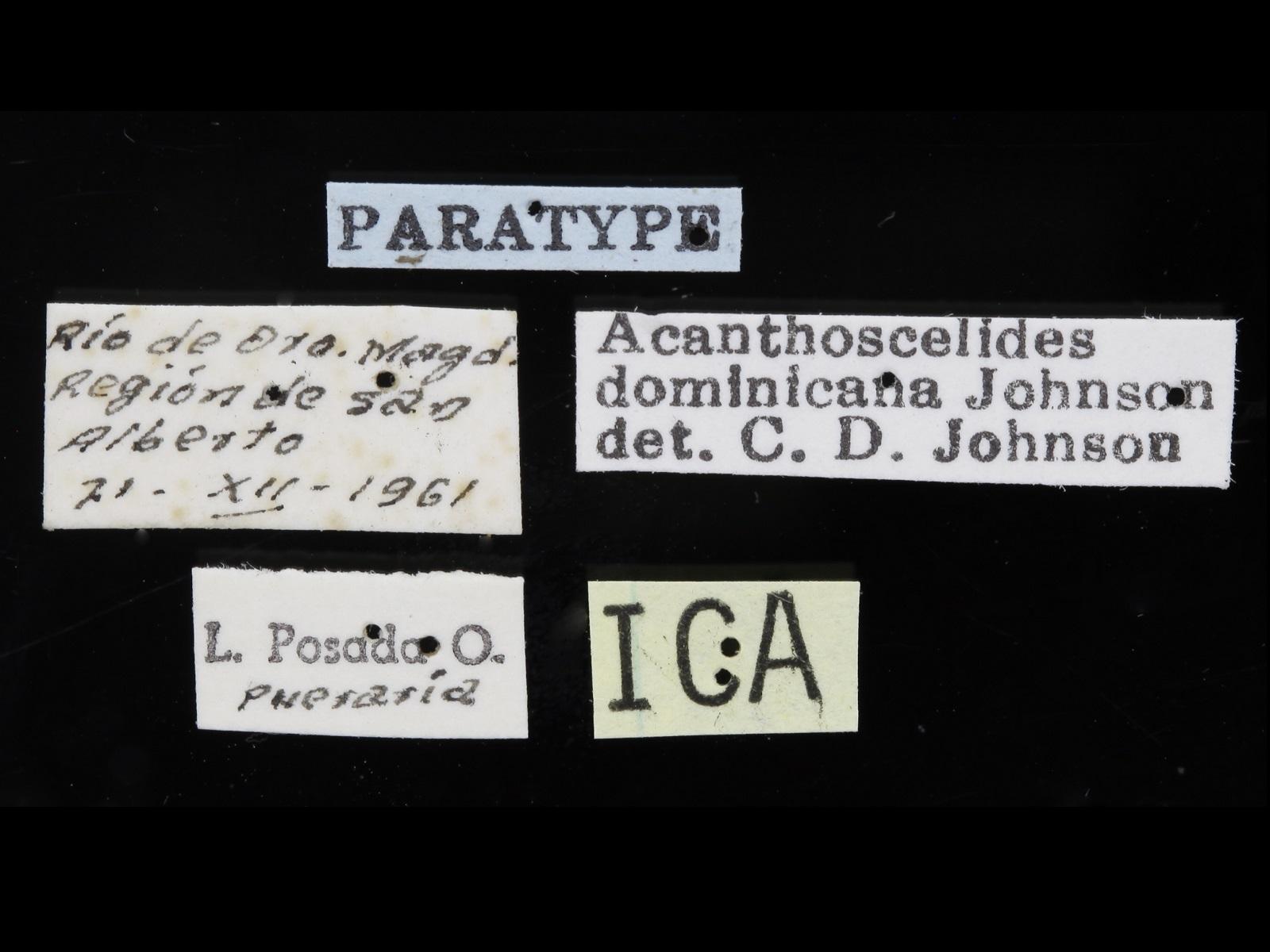 Acanthoscelides dominicana Johnson, 1990