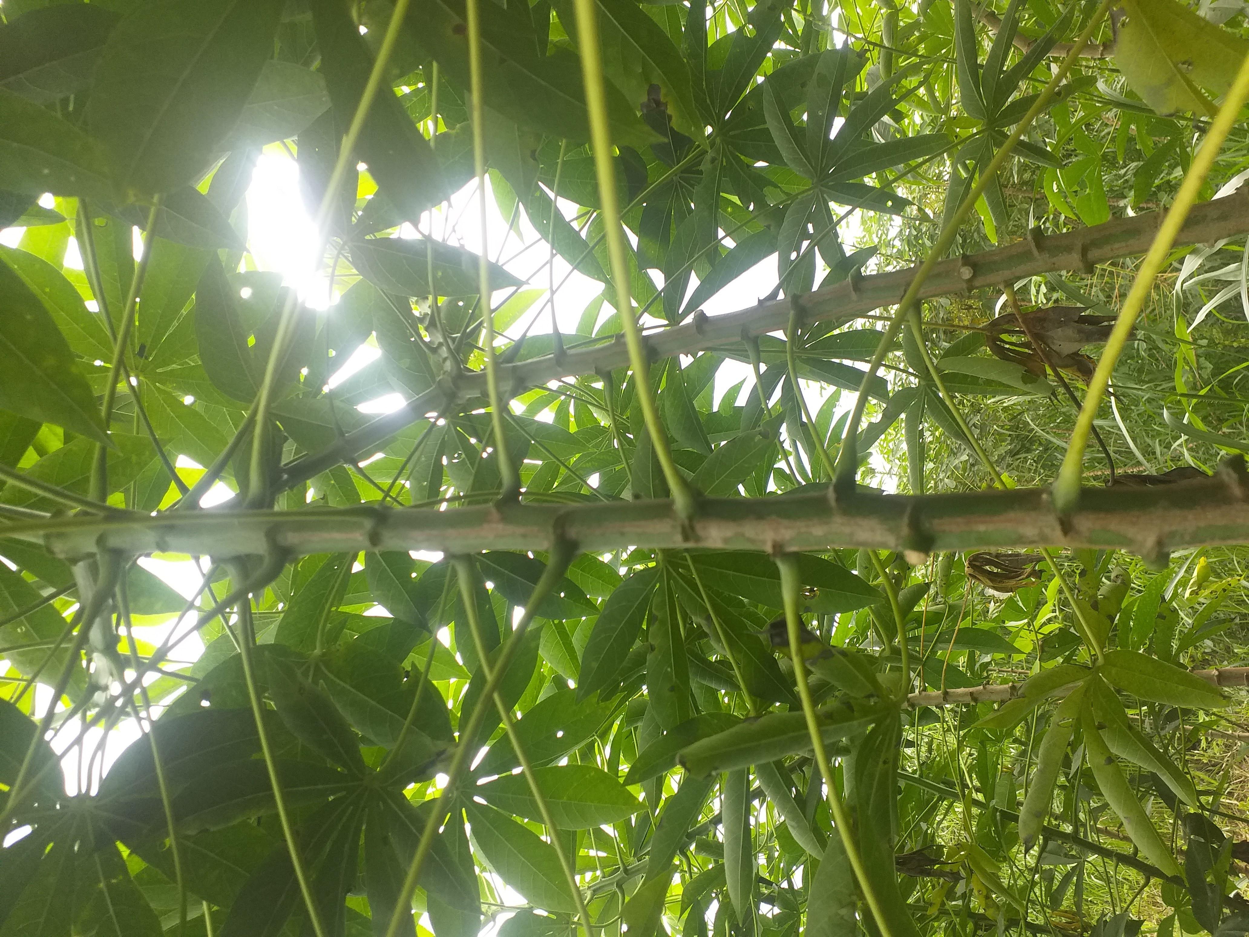 Variedad de yuca forrajera como alternativa de alimentación animal para el Caribe Colombiano