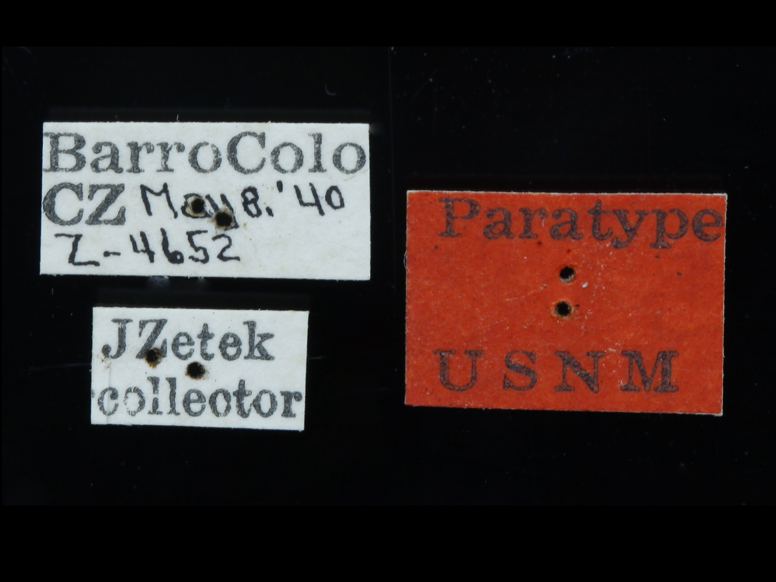 Phyllophaga calculisternis Saylor, 1942