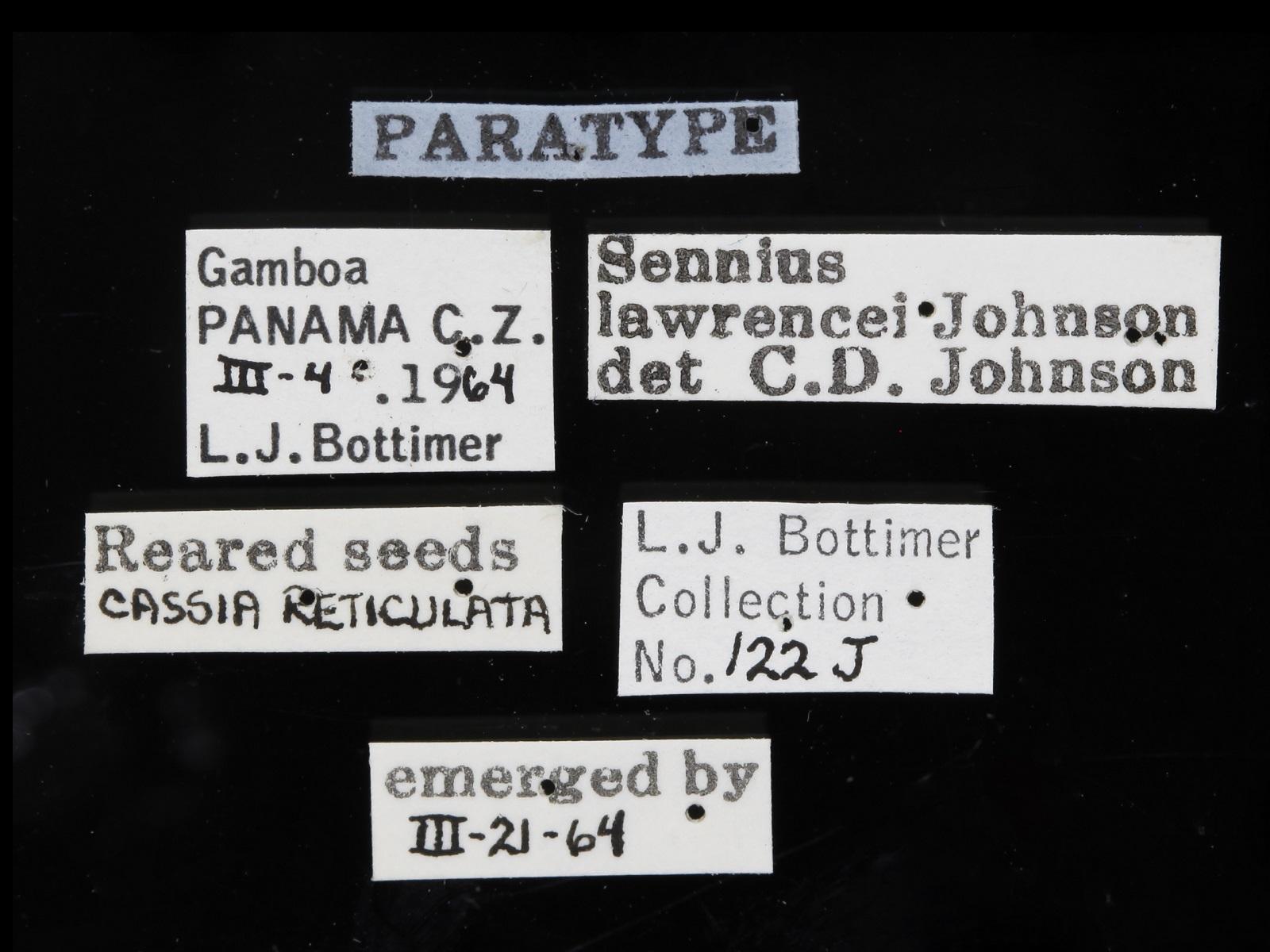Sennius lawrencei Johnson, 1977