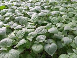 Recomendaciones técnicas para la producción de plántulas de uchuva libres de Fusarium oxysporum en vivero