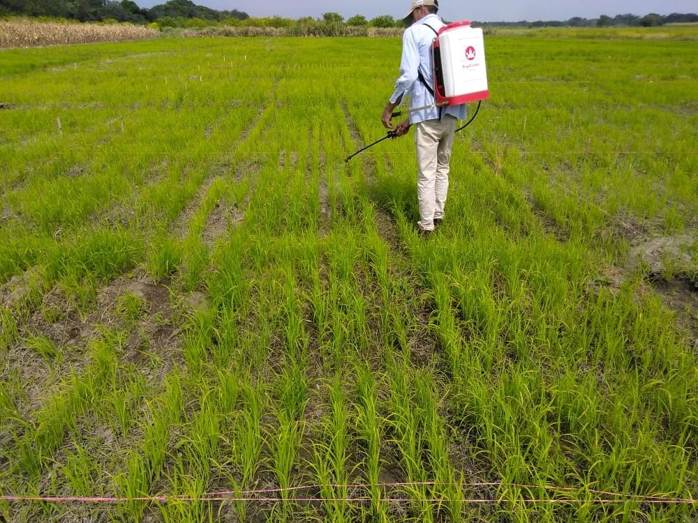 El biofertilizante que optimiza el uso sostenible del fósforo en los cultivos de arroz y maíz será una realidad