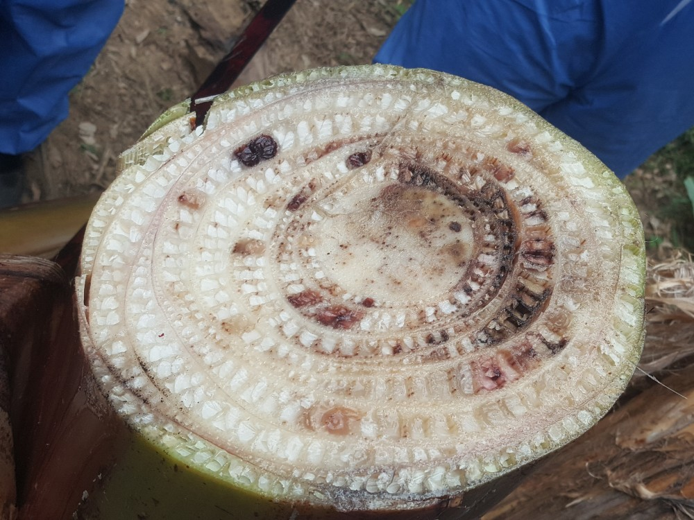 Investigadores de América Latina y el Caribe unidos contra las enfermedades de las musáceas