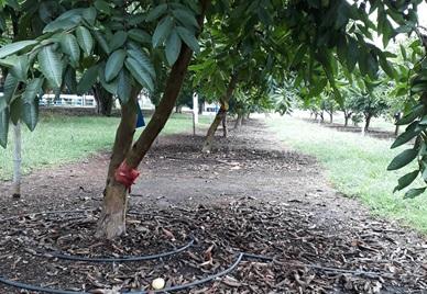 Esquema para uso eficiente del riego en cultivos tecnificados de guayaba (Psidium guajava) en fase productiva