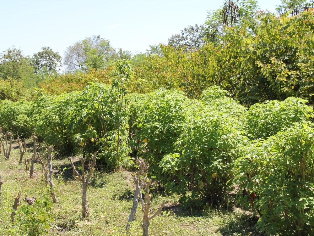 Sistemas silvopastoriles excelente nutrición y menos contaminación