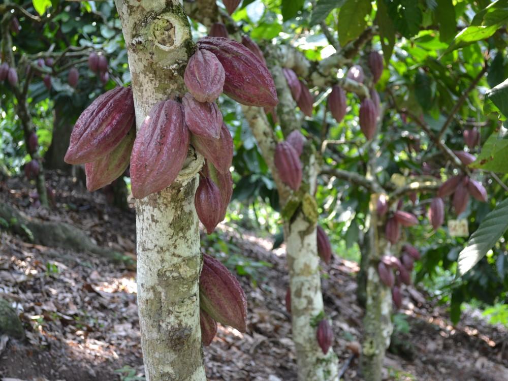 Mejorar la calidad del cacao implica conocer y abordar el tema del cadmio