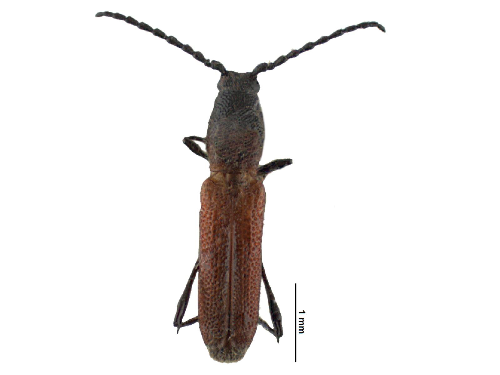 Assycuera spp.