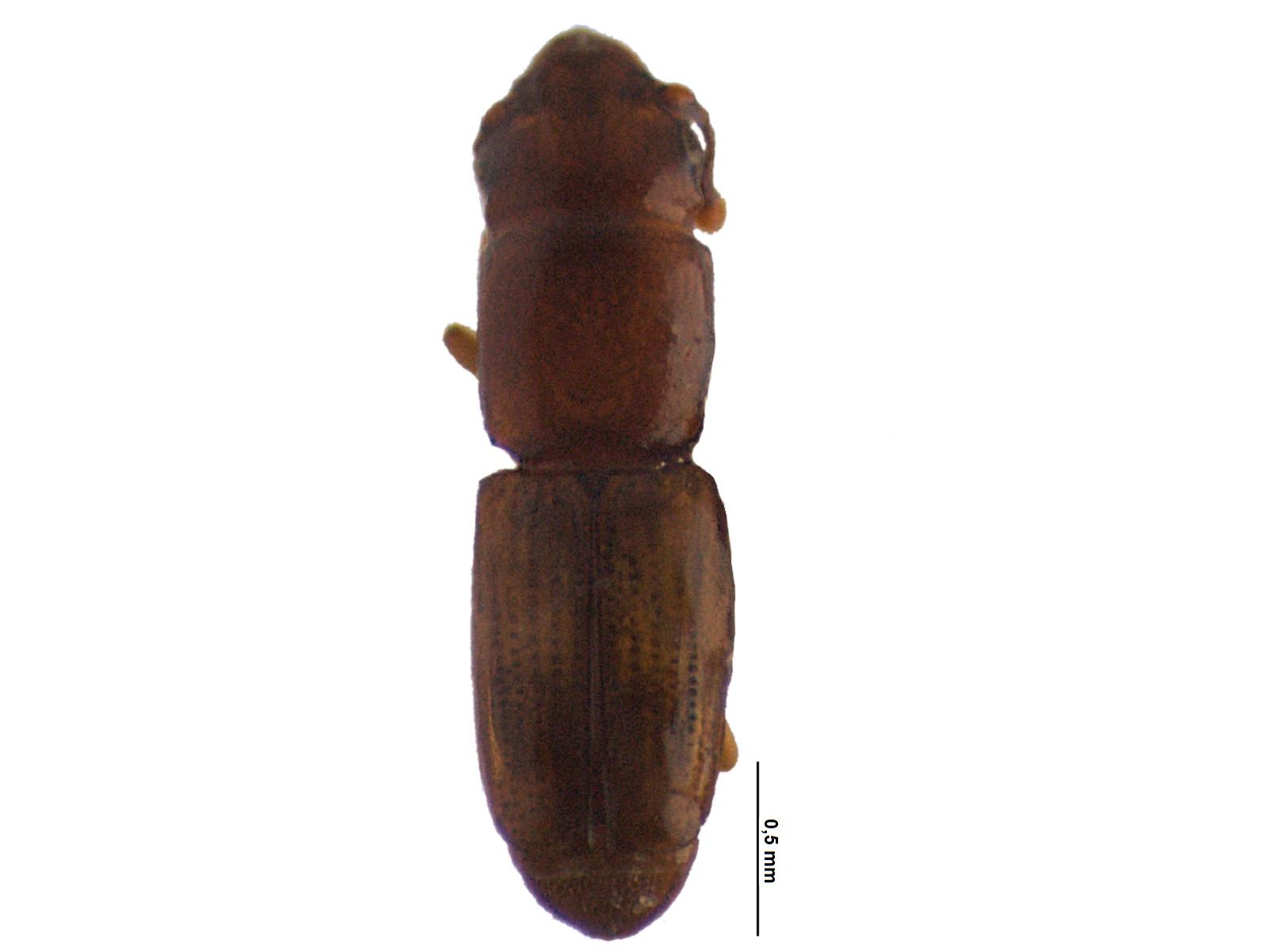 Bactridium rude Sharp, 1900