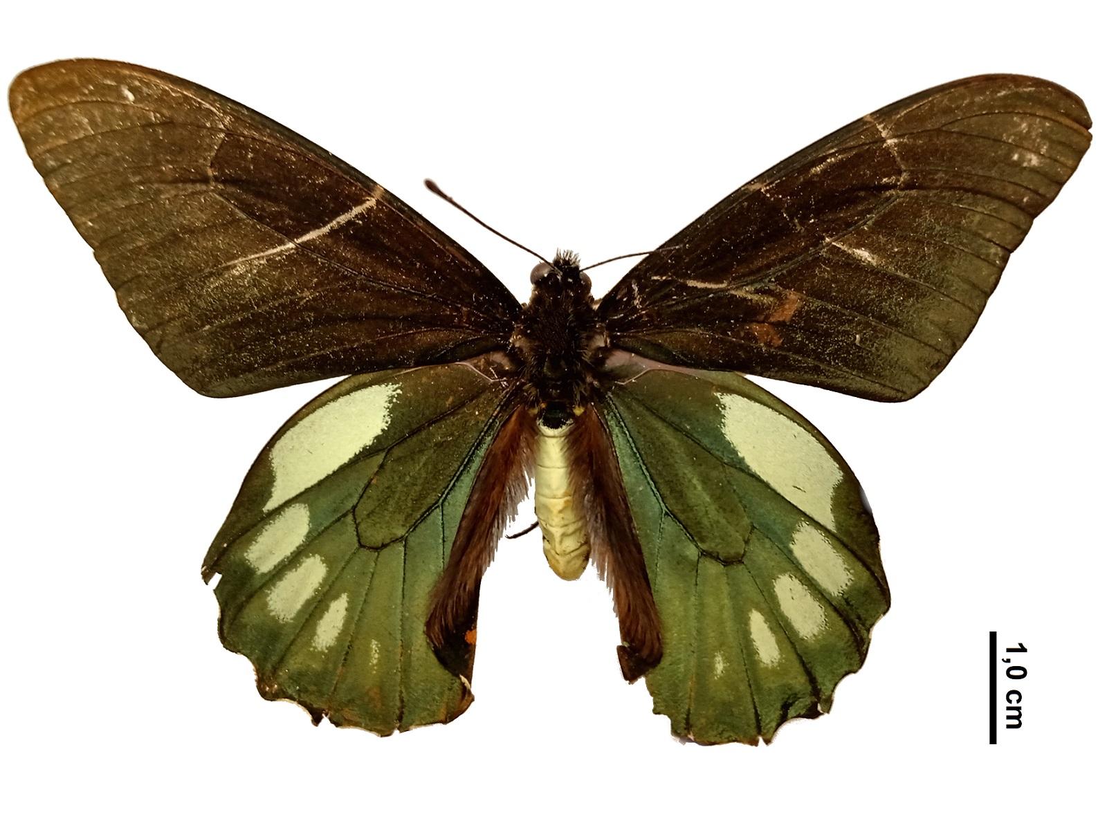 Battus ingenuus (Dyar, 1907)