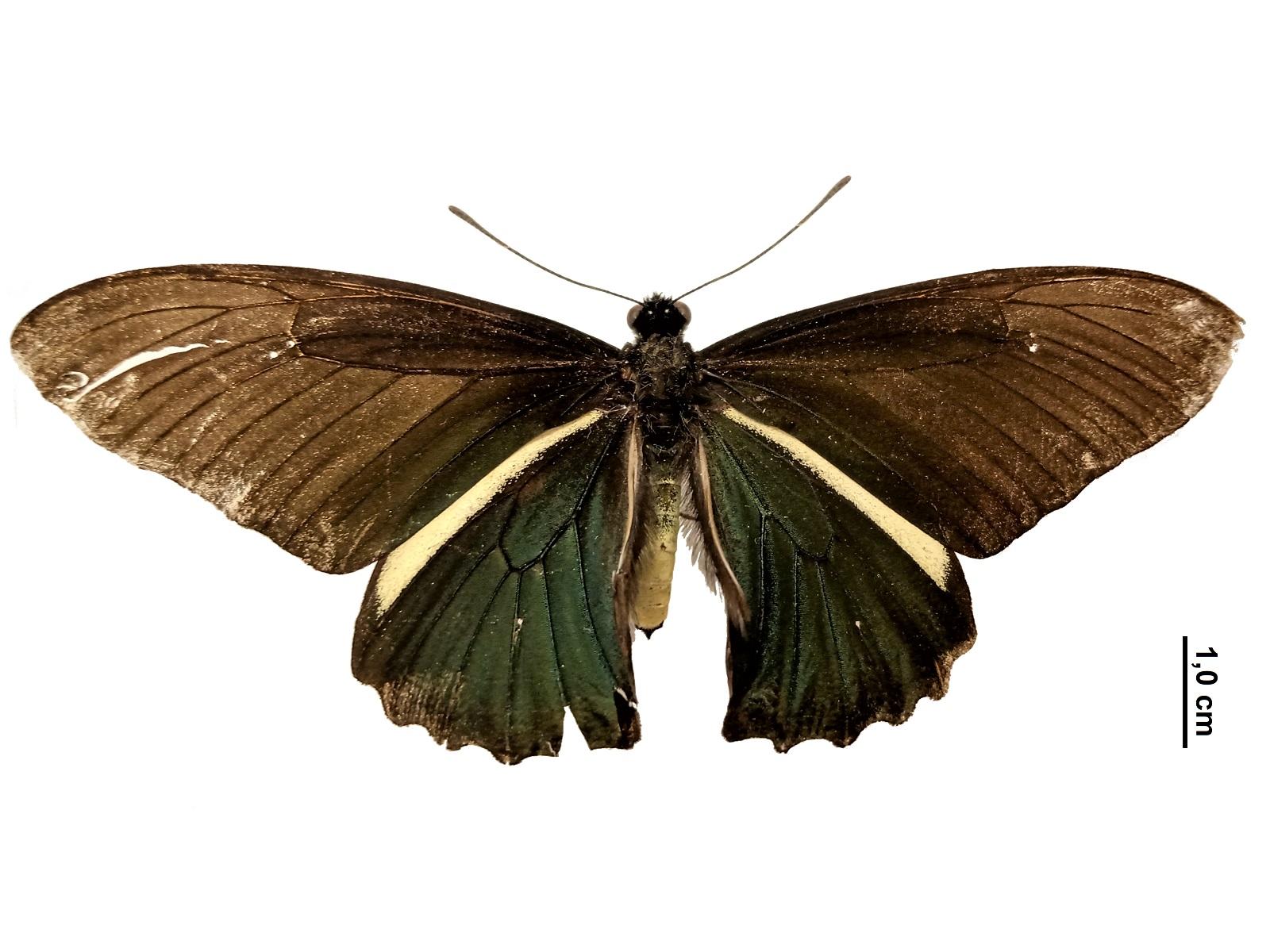 Battus crassus lepidus (Felder & Felder, 1861)