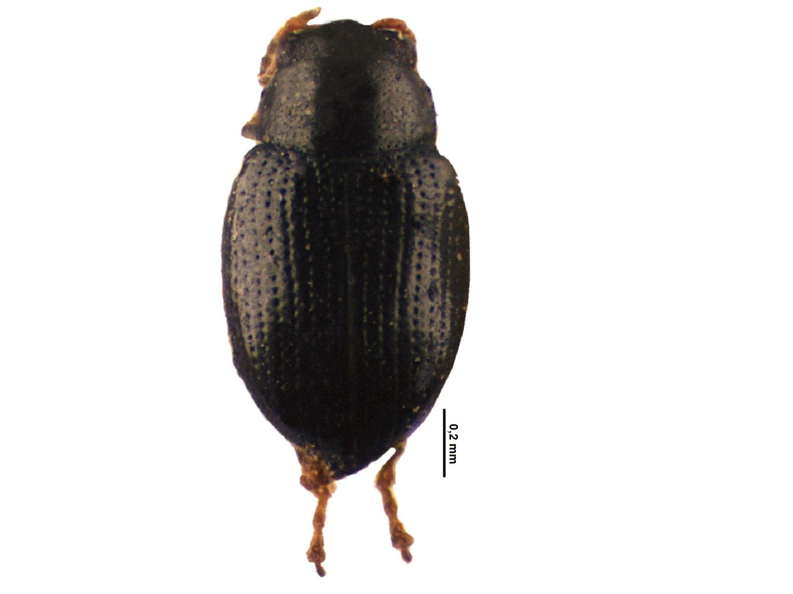 Chaetocnema palmirensis Bechyné, 1966