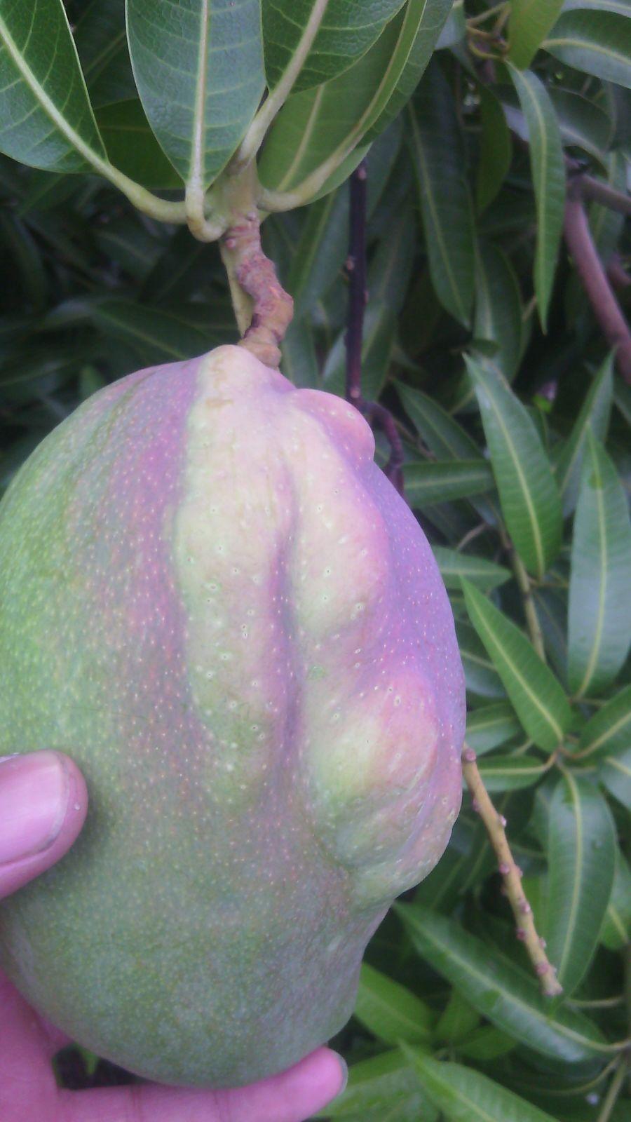 Manejo de trips (Frankliniella cf. gardeniae) a través del uso de umbrales de acción en las variedades de mango (Mangifera indica) Tommy y Yulima, en el departamento del Tolima.