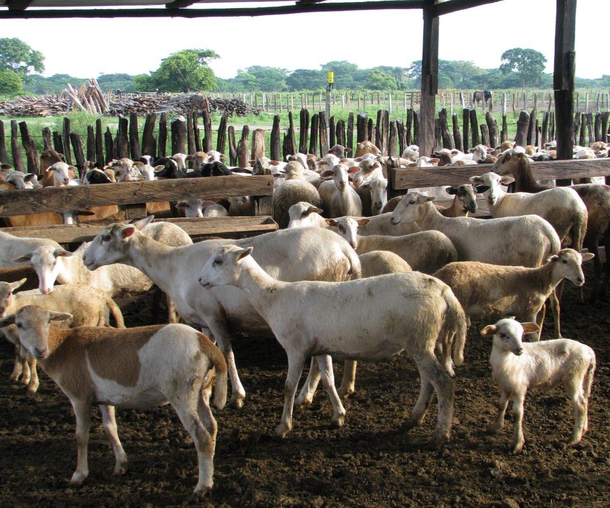 AGROSAVIA socializa estudios de ovinos y caprinos en simposio internacional de producción animal