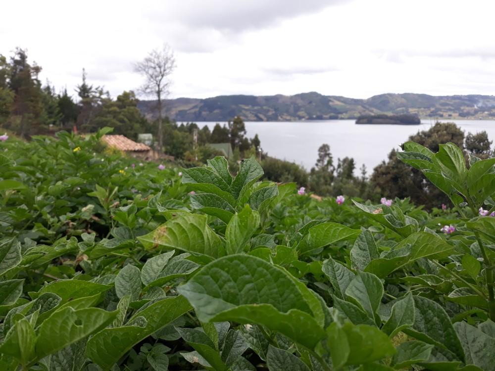 Cerca de 90 productores se beneficiarán con la alianza CONDESAN-AGROSAVIA, que promoverá la sostenibilidad de los cultivos de cebolla de rama y papa en la región