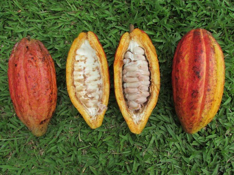 Nueva variedad de cacao TCS 13