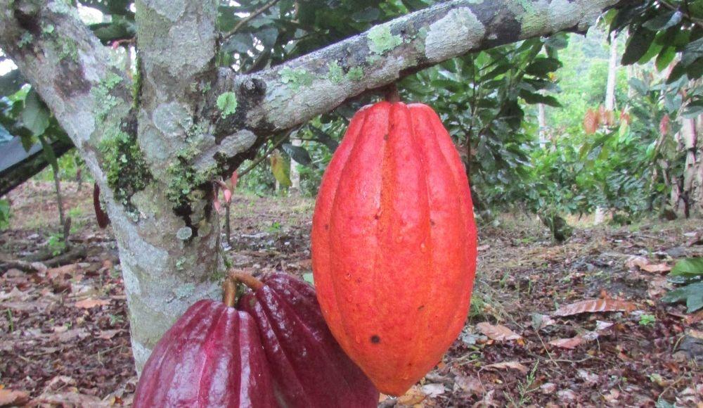 Variedad de cacao TCS 19
