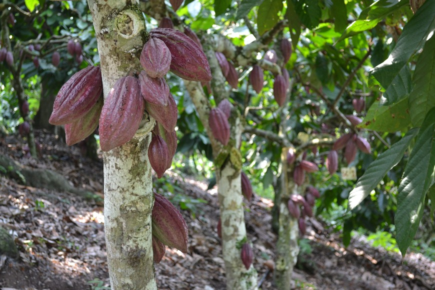 Nueva variedad de cacao TCS 01
