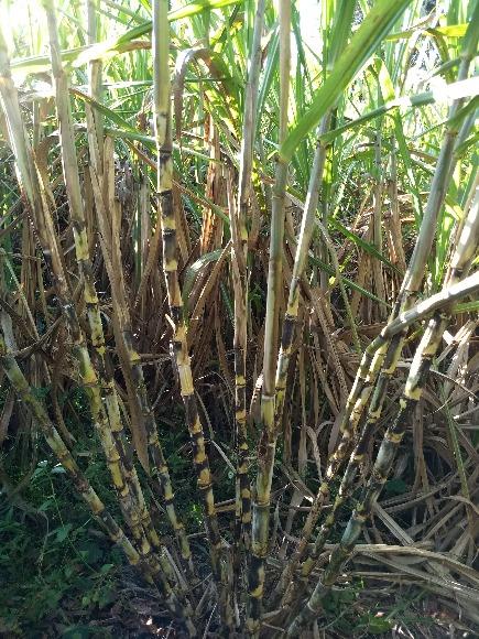 CC 93- 7510. Variedad de Caña de Azúcar  destinada a la producción de Panela