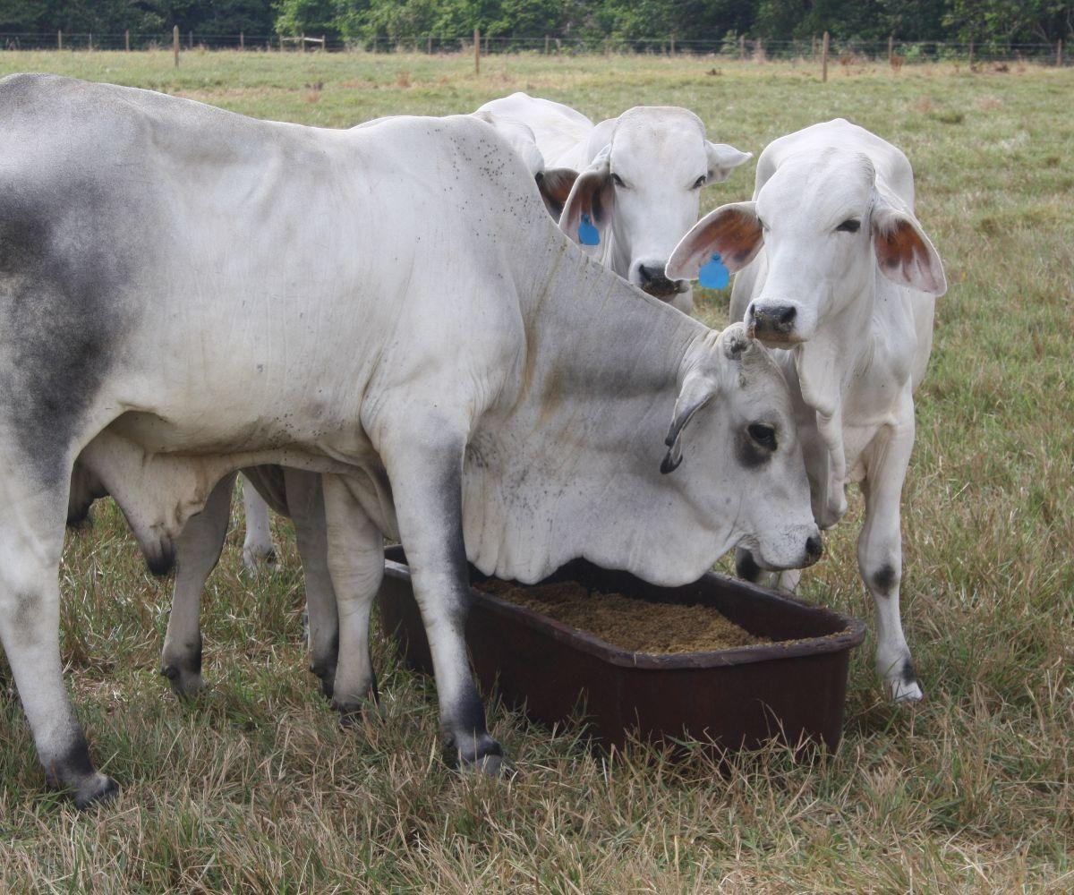 Minagricultura y AGROSAVIA desarrollan alternativa de suplemento alimenticio para bovinos en temporadas secas