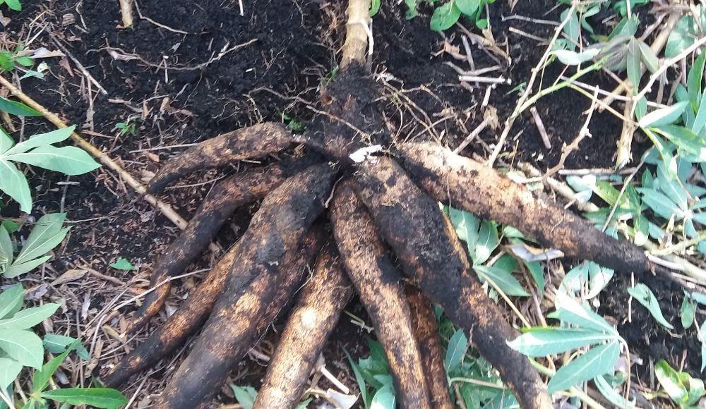 Corpoica La Francesa: Nueva variedad de yuca industrial para el suroccidente colombiano