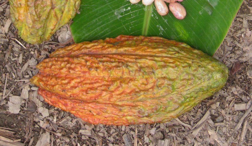 Nueva variedad de cacao TCS 06