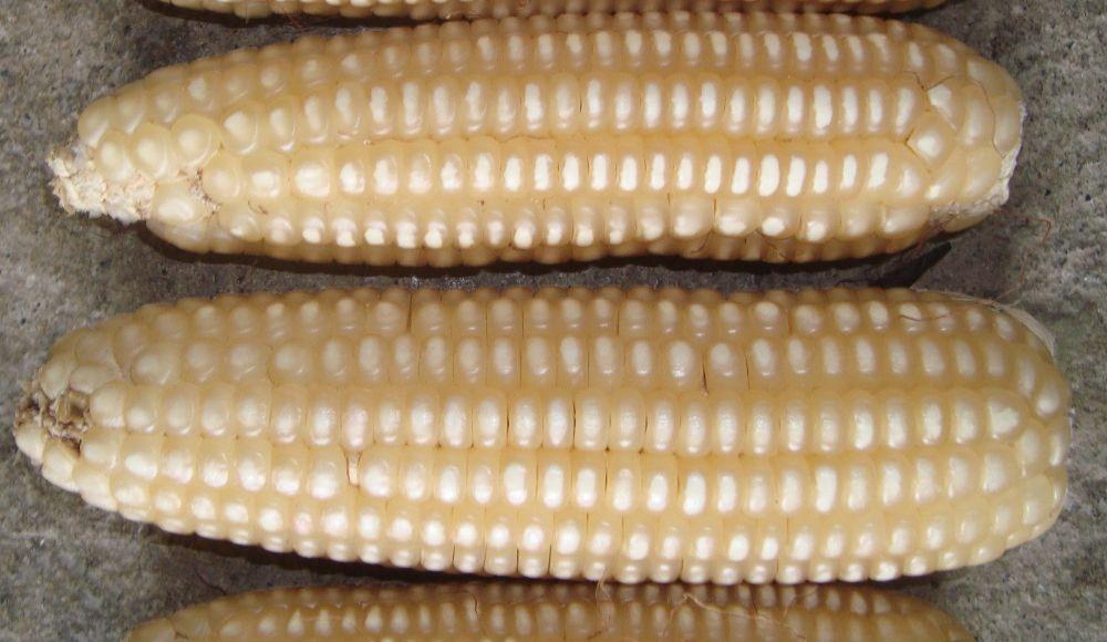 Corpoica V-159: Variedad de maíz de grano blanco