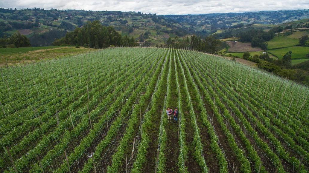 Obonuco Andina, variedad mejorada de arveja para el sistema de producción de economía campesina del sur de Nariño