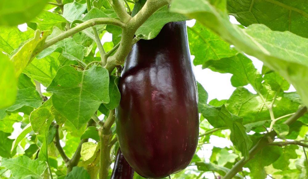 Variedad de Berenjena (Solanum melongena) C029 adaptada a las condiciones productivas del caribe colombiano y con características para los mercados nacionales y de exportación