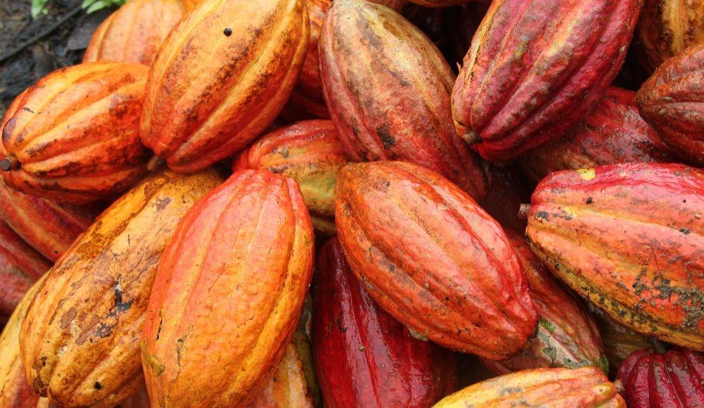 Recomendación de uso de la técnica injerto malayo como practica de renovación de plantaciones improductivas de cacao (Theobroma cacao).