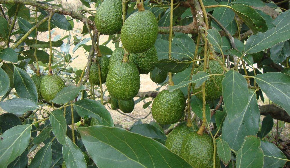 Estrategias de control para Monalonion velezangeli, basadas en modelos de producción limpia en cultivos de aguacate cv Hass en Antioquia y el Eje cafetero