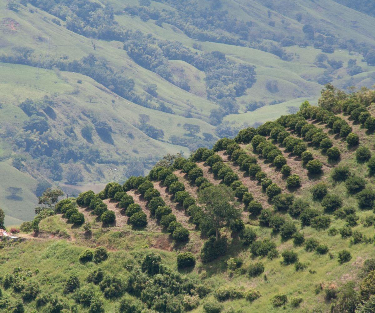 Iniciará proyecto de investigación para mejorar el rendimiento y calidad  del aguacate Hass en Cauca